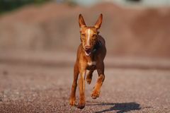 Puppy cirneco. Runs to me Royalty Free Stock Images