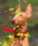 Puppy cirneco. Sitting with looking at leaves Royalty Free Stock Photos