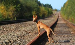 Puppy cirneco stands on the railway. Puppy Cirneco  stands on the rails Stock Images