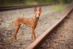 Puppy cirneco stands on the railway. Cirneco stands on the railway  looking to the photographer Royalty Free Stock Image