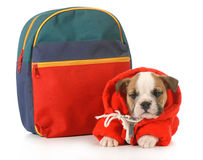Puppy classes. English bulldog puppy dressed up for school isolated on white background - 7 weeks old Stock Photography