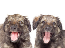 Puppy close-up Royalty Free Stock Photos