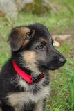 Puppy. Close-up image of a German Shepherd puppy Royalty Free Stock Photos
