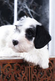 Puppy close-up portrait. Sealyham Terrier puppy close-up portrait Royalty Free Stock Images