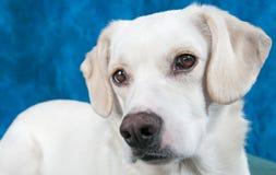 Puppy Closeup Royalty Free Stock Image