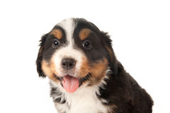 Puppy closeup Stock Image