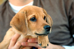 Puppy closeup. Closeup portrait of a puppy royalty free stock images