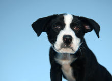 Puppy Closeup. Closeup of intense looking border collie-lab mix puppy against a blue sky Royalty Free Stock Images