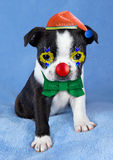 Puppy Clowning Around. A Boston Terrier puppy looks like a clown with a hat, red nose, and bow tie Royalty Free Stock Photo
