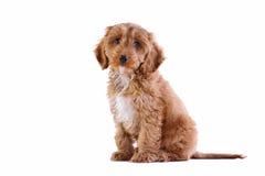 Puppy Cockapoo die op wit wordt geïsoleerdA Royalty-vrije Stock Foto