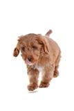 Puppy Cockapoo die op wit wordt geïsoleerdA Stock Afbeeldingen
