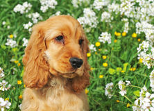 Puppy cocker spaniel Royalty Free Stock Images