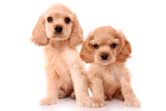 Puppy cocker spaniel Royalty Free Stock Photo