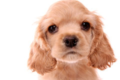 Puppy cocker spaniel Royalty Free Stock Photos