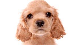 Puppy cocker spaniel royalty free stock photos