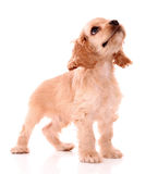 Puppy cocker spaniel royalty free stock image