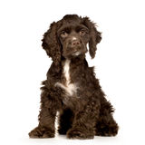 Puppy Cocker Spaniel Stock Photo