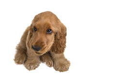 Puppy a cocker - a spaniel. On a white background stock image