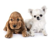 Puppy cocker spaniel and chihuahua. In front of white background Royalty Free Stock Photos