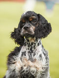 Puppy cocker spaniel on a green background Stock Photo