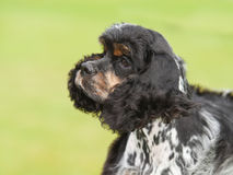 Puppy cocker spaniel on a green background Royalty Free Stock Images