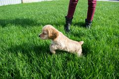 Puppy cocker spaniel jumping on a green lawn royalty free stock photo