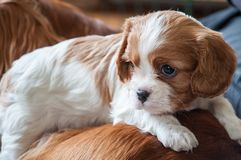 Puppy cocker spaniel looking around stock photo