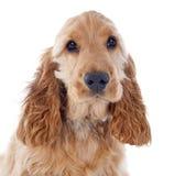 Puppy cocker spaniel Royalty Free Stock Photo