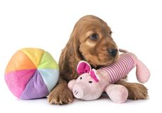 Puppy cocker spaniel. In front of white background stock images