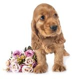 Puppy cocker spaniel. In front of white background royalty free stock image