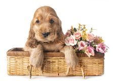 Puppy cocker spaniel. In front of white background royalty free stock photo