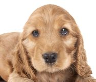 Puppy cocker spaniel. In front of white background stock image