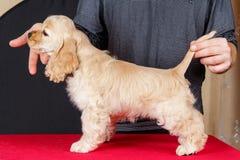 The puppy Cocker Spaniel Stock Photo