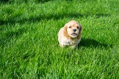 Puppy cocker spaniel running along the green grass stock image