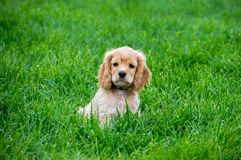 Puppy Cocker Spaniel Sitting In Green Grass royalty free stock photos