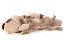 Puppy cocker spaniel and toy Royalty Free Stock Image