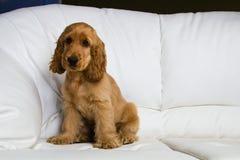 Puppy a cocker - a spaniel. On a white sofa stock photos