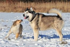 Puppy Collie and Husky Royalty Free Stock Photography