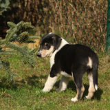 Puppy of Collie Smooth moving in the garden Stock Photo