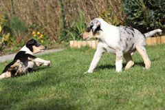 Puppy of Collie Smooth playing in the garden Royalty Free Stock Photography