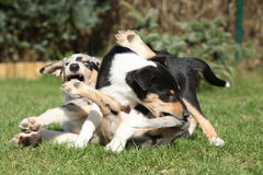 Puppy of Collie Smooth playing in the garden Royalty Free Stock Photo