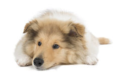 Puppy collie Royalty Free Stock Photography