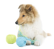 Puppy collie Royalty Free Stock Photo