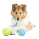 Puppy collie Royalty Free Stock Photos
