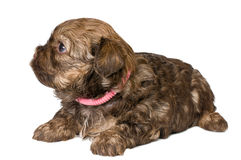 Puppy colored lapdog in studio. On a neutral background Royalty Free Stock Photo