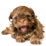 Puppy colored lapdog in studio. On a neutral background Royalty Free Stock Photos