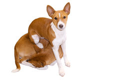 Puppy comfortably sitting on adult Royalty Free Stock Images