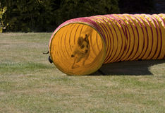 Puppy coming out of agility tunnel Royalty Free Stock Photo