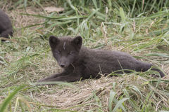 Puppy Commanders blue arctic fox that lies near burrows Stock Photography