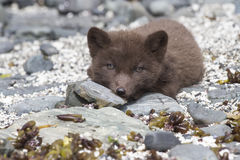 Puppy Commanders blue arctic fox is on the rocks looking Royalty Free Stock Photos